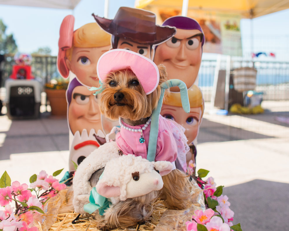 two yorkshire terriers in costume as bo peep and her sheep from toy story